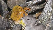 The collared pika, which makes its home in the mountains of northwestern Canada and Alaska and is threatened by habitat loss due to climate change, is one of eight species heading for listing for the first time under the Species at Risk Act. (Kieran O'Donovan)