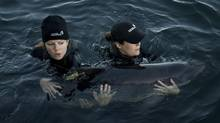 Members of the Vancouver Aquarium slowly release Levi, a rehabilitated adult porpoise, into the waters off Saanich Inlet, B.C., on Sept., 9, 2013. (Jonathan Hayward/The Canadian Press)