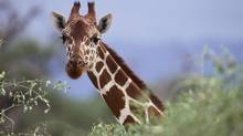 Giraffe (Thinkstock)