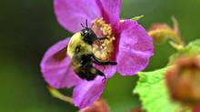 A bumblebee pollinates a flower. (Roger Hallett/The Globe and Mail)