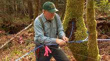 Gary Backlund hooks up a pipeline to bigleaf maple trees on his Ladysmith, B.C., property. (Katherine Backlund)