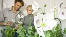 Dr. Peter Facchini, Ph.D. Professor in the Department of Biological Sciences at the University of Calgary and Dr. Jillian Hagel inspect the growth of poppies in the greenhouse. Dr. Hagel has discovered two unique genes that allow the opium poppy to make morphine and codeine. (Chris Bolin Photography Inc./CHRIS BOLIN for The Globe and Mail)