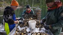 Ocean acidification makes it harder for species such as oysters to survive, as high acid levels prevent shells from hardening. (John Lehmann/The Globe and Mail)