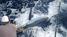 San Jose del Cabo benefits from snowbirds who bring along their ideas in art, cuisine and design. Plus, you can?t beat the marlin fishing. (iStockphoto)