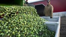 Bill French, right, and his son Brian harvest brussel sprouts on their farm in Melancthon township near Orangeville, Ont., on Nov. 21, 2012. Mr. French was one of many area farmers opposed to a massive limestone quarry that was proposed for the area. (Kevin Van Paassen/The Globe and Mail)