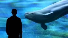 Beluga viewing area, Vancouver Aquarium. (Brian McLoughlin/Brian McLoughlin)